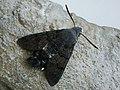 Macroglossum stellatarum - Hummingbird hawk-moth - Бражник-языкан (28118434677).jpg