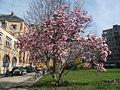 Magnolia × soulangeana Paris.jpg