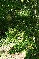 Magnolia sprengeri, Conservatoire botanique national de Brest 02.jpg