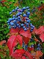 Mahonia aquifolium 005.JPG