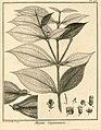 Maieta guianensis Aublet 1775 pl 176.jpg