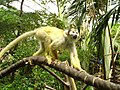 Majmun Faunija.JPG