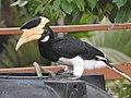Malabar Pied Hornbill from Sindhudurg District Maharashtra DSCN0241 06.jpg