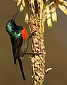 Male Greater Double-collared Sunbird (Cinnyris afer) at Walter Sisulu National Botanical Garden, Gauteng, South Africa (35219581955).jpg