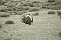 Male Greater Sage-Grouse (7094174015).jpg