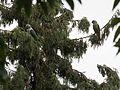 Male Malabar Parakeets (28889033022).jpg