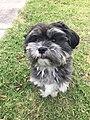 Male Maltese Shih tzu Dog.jpg