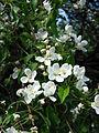 Malus prattii blossom 01.JPG