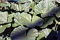 Malva sylvestris Zebrina 0zz.jpg