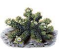 Mammillaria elongata T174.jpg
