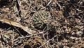 Mammillaria heyderi (26018919571).jpg