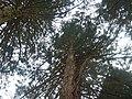 Mammutbaum beim Waldlehrpfad bei Sulz am Neckar, Dieser Mammutbaum wird in Nordamerika bis zu 4000 Jahre alt und 100 m hoch, Riesenmammutbaum Sequoia, Sequoiadendron giganteum, 1865 auf Veranlassung König Wilhelms i - panoramio.jpg