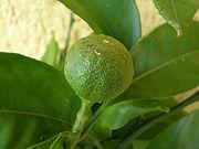 Mandarina2.jpg