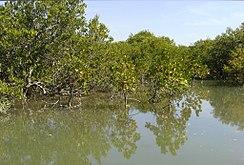 Mangrove-Keti Bundar