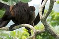 Mantled Howler Monkeys- Panama.jpg