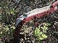 Manzanita Peeling Bark.jpg