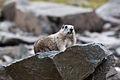 Marmot (4170002364).jpg