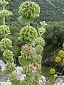 Marrubium vulgare.001 - Monfrague.jpg