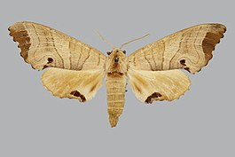 Marumba indicus BMNHE813633 female up.jpg