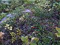 "Mat of common bearberry (""Kinnikinnick"", Arctostaphylos uva-ursi) on boulders.JPG"
