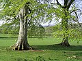 Mature trees in a grazing field - geograph.org.uk - 420308.jpg