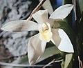 Maxillaria camaridii - fl 1.jpg