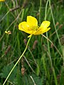 Meadow Buttercup (Ranunculus acris) (5037205930).jpg