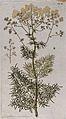 Meadow rue (Thalictrum angustifolium L.); flowering stem wit Wellcome V0042946.jpg