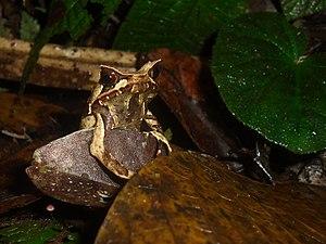 Megophrys montana - Image: Megophrys montana, Taman Nasional Gunung Halimun Salak, 19012016
