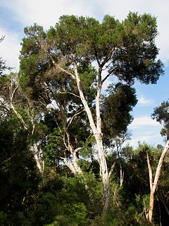 <i>Melaleuca ericifolia</i> species of plant