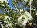 Melaleuca rhaphiophylla (leaves, flowers).JPG