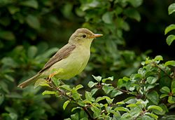 Melodious warbler (Hippolais polyglotta), Le Petit Loc'h, Guidel, Brittany, France (19972894766).jpg