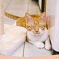 Melon, the orange cat, Taipei; July 2016 (11).jpg