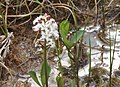 Menyanthes trifoliata (9296516329).jpg