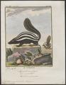 Mephitis mapurito - 1700-1880 - Print - Iconographia Zoologica - Special Collections University of Amsterdam - UBA01 IZ22500093.tif