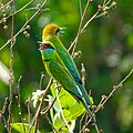 Merops orientalis, green Bee-eater 5.jpg