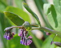 Mertensia buds cropped.png