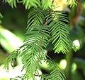 Metasequoia glyptostroboides in Dunedin Botanic Garden 01.jpg