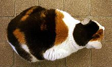 calico cat wiktionary
