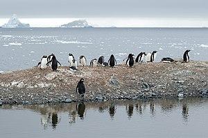 Trinity Island - Gentoo penguins at Mikkelsen Harbor, Trinity Island