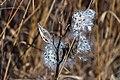 Milkweed Seed Pod Floss PLT-FL-WD-MW-2.jpg