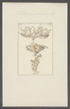 Millepora islandica - - Print - Iconographia Zoologica - Special Collections University of Amsterdam - UBAINV0274 111 07 0014.tif
