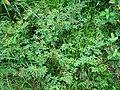 Mimosa elliptica.jpg