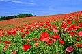 Minano Papaver Rhoeas Field 1.jpg