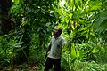 Ministry of agriculture cocoa research officer Raymond Vava stands amongst an overgrown cocoa farm. (10703456373).jpg