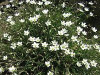 Minuartia verna var. japonica 5.JPG