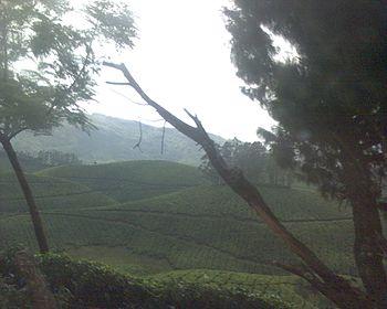 Misty tea plantations.jpg