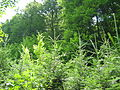 Mixed forest in Romania.jpg