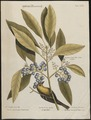 Mniotilta pinus - 1700-1880 - Print - Iconographia Zoologica - Special Collections University of Amsterdam - UBA01 IZ16300019.tif