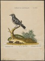 Mniotilta varia - 1700-1880 - Print - Iconographia Zoologica - Special Collections University of Amsterdam - UBA01 IZ16300001.tif